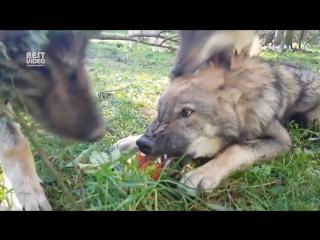 Волки и яблоко