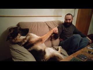 German Shepherd wants his belly rubbed