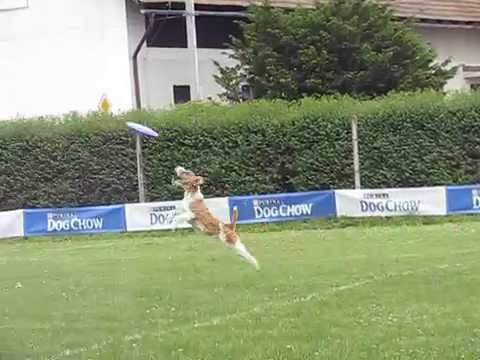 Greasy the wire fox terrier dogfrisbee freestyle