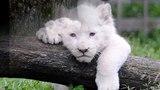 white lion babies
