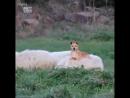 Просто собачка катается на овечке