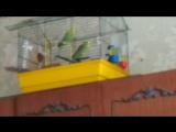 Мои попугаи зажигают под дэдпула)))