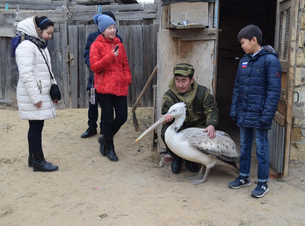 В Калмыкии школьники помогли выжить кудрявому пеликану, отбившемуся от стаи.