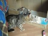 bengal cat talking to her kitten - ORIGINAL