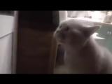 ??? кот четко произносит открой дверь