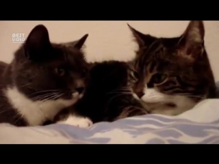 Коты разговаривают друг с другом