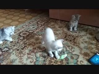 Продаем шотландских котиков. Казань