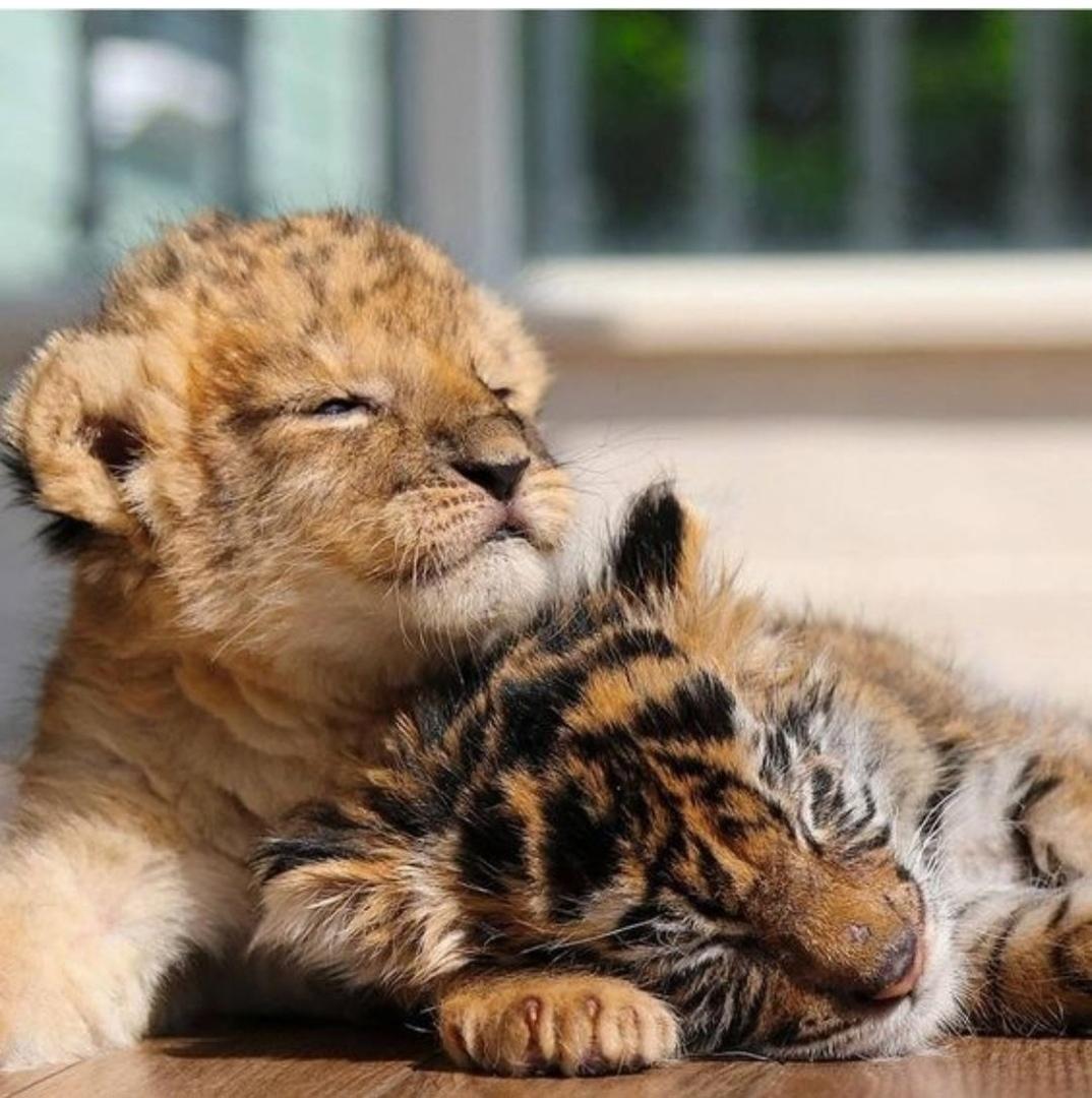 Картинки с тигрятами и львятами, открытками спасибо услуга