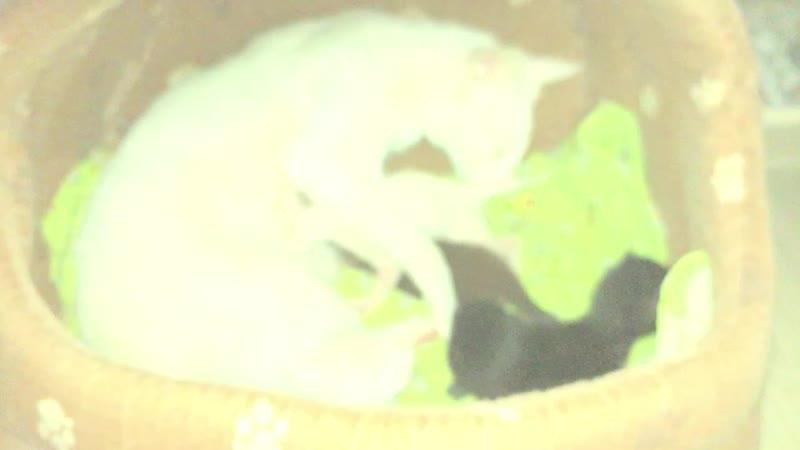 Ориентальные котята помет L