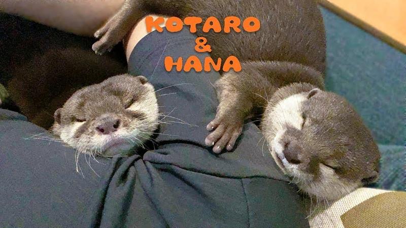 カワウソコタローとハナ みんなでピッタリくっついて寝る Otter KotaroHana Cuddle Up