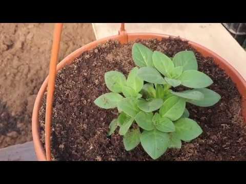 Удобрения которые я применяю при выращивании цветов в подвесных горшках