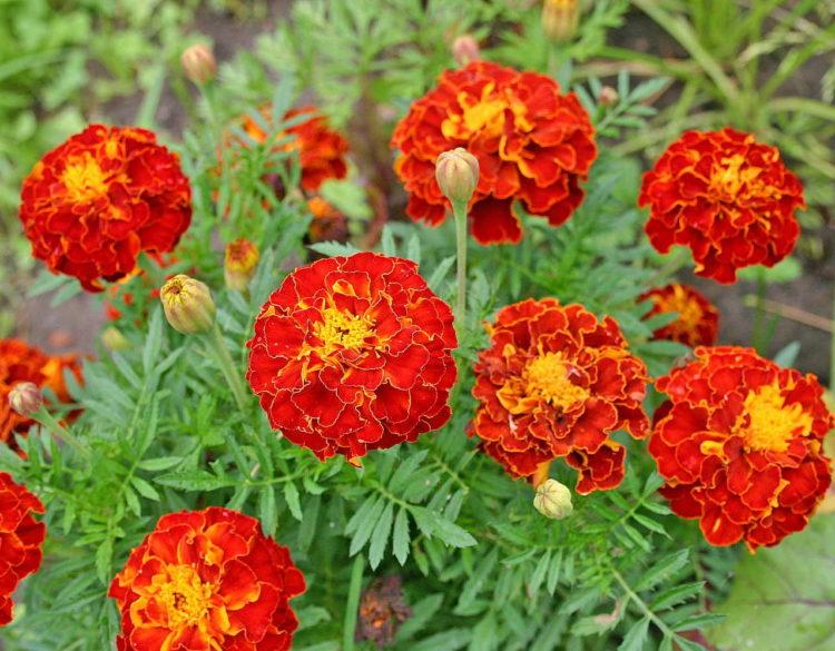 Дачные цветы Бархатцы