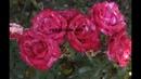 мотобур, капельная лента, осенняя высадка роз, питомник роз полины козловой,