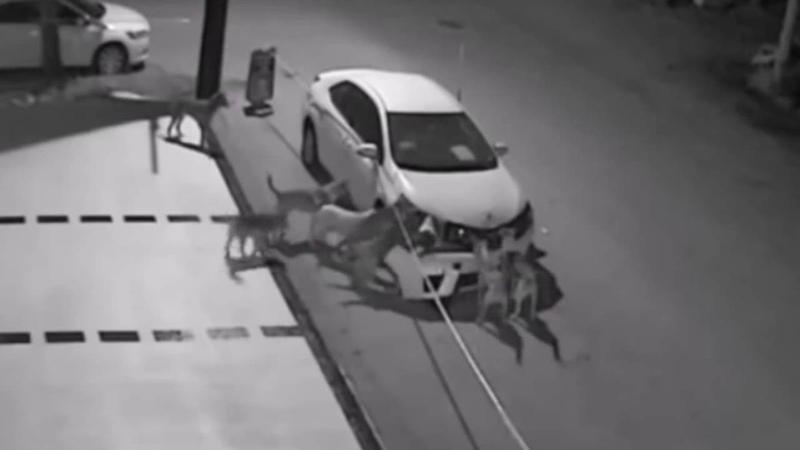 Stray dogs destroy car in Turkey's Sakarya