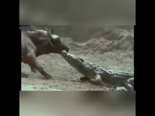 Буйволы и аллигатор