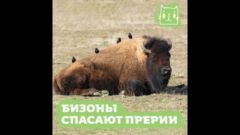 Бесконтрольные убийства бизонов привели к экологической катастрофе