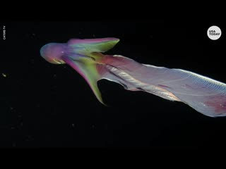 Rare rainbow blanket octopuses caught on camera in the phillippines