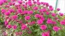 Монарда - пряное, лечебное, эфиромасличное и декоративное растение