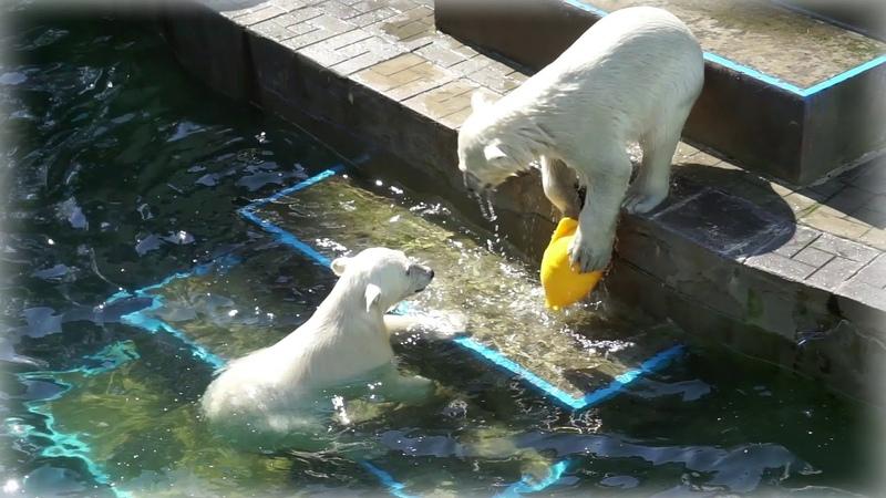 Белым медвежатам жара не страшна