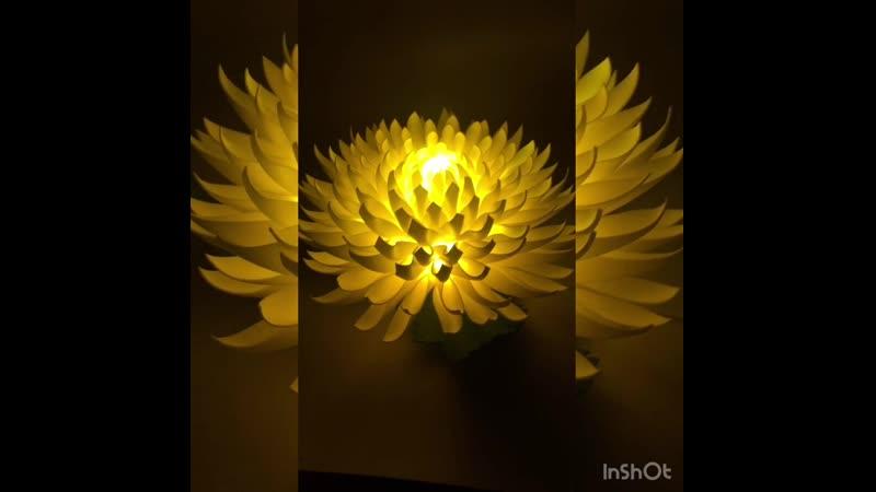 Настенная хризантема