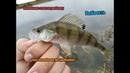 Без колебалки нет рыбалки! Колебалка спасла рыбалку. Жор окуня!