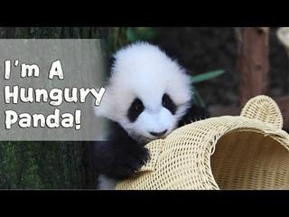 Bored Panda Can Do Anything | iPanda