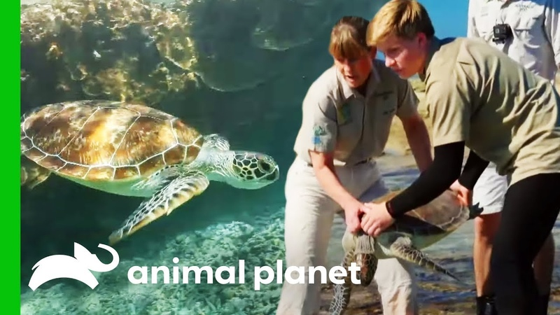 Releasing Sea Turtles On The Great Barrier Reef Crikey It's The Irwins