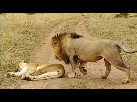 How Not to Wake Up a Lioness