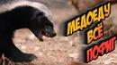 Медоед против льва леопарда гиены змеи скорпиона и пчёл Битва животных Медоеду всё пофиг