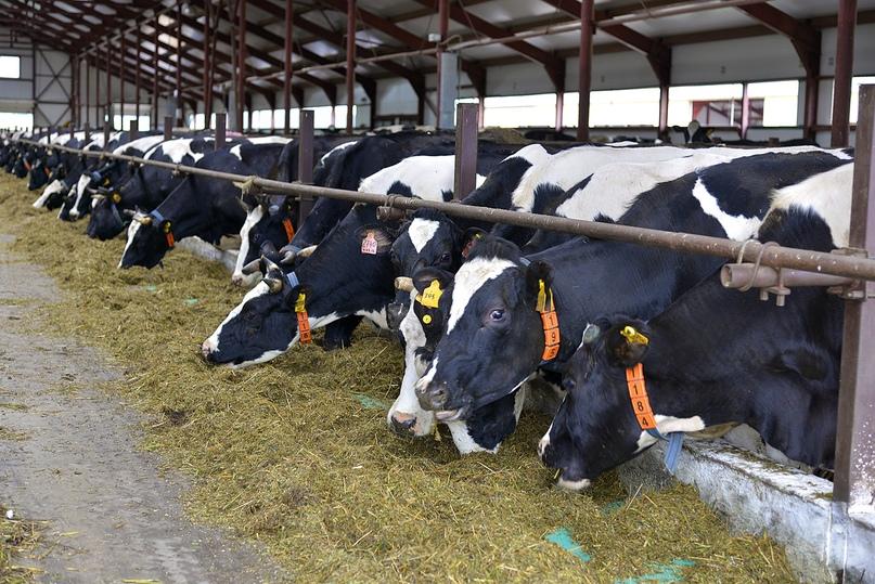 Производство молока – рентабельный бизнес, изображение №2