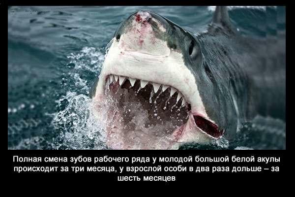 валтея - Интересные факты о акулах / Хищники морей.(Видео. Фото) IOUAsZoRMOY