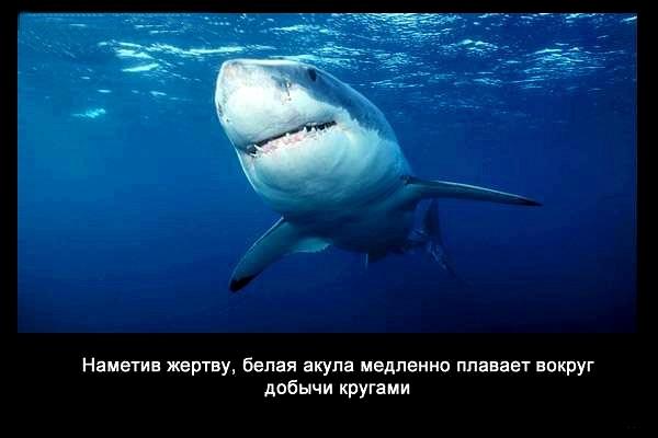 валтея - Интересные факты о акулах / Хищники морей.(Видео. Фото) YIYGmbTSumo
