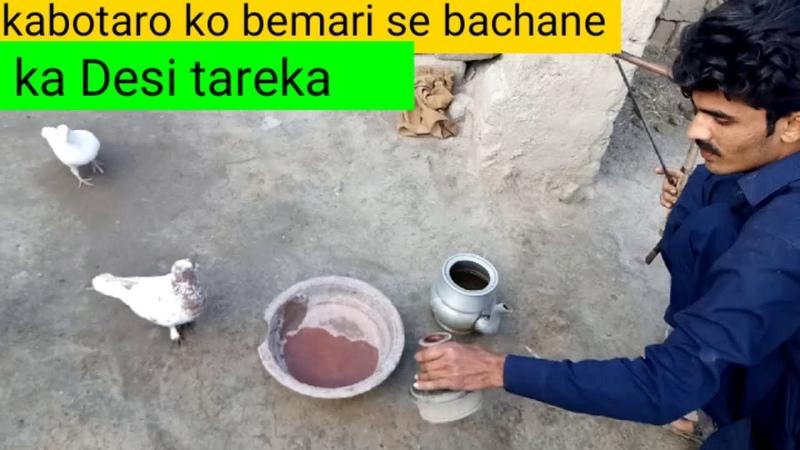 Kabotaro ko bemari se bachane ka gharelo desi tareka pigeon for safe
