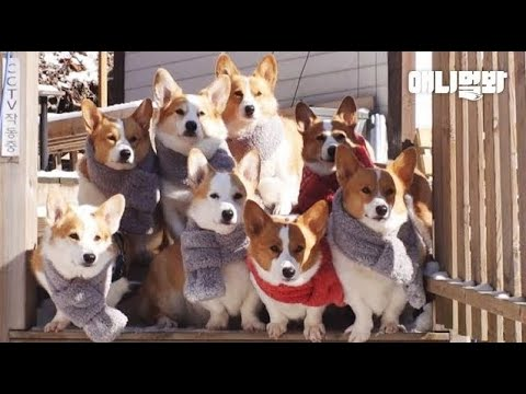 겨울이라고 목도리 공구한 웰시코기들ㅋㅋ ㅣ Welsh Corgi Dogs Made A Group Purchase Of Mufflers For Winter