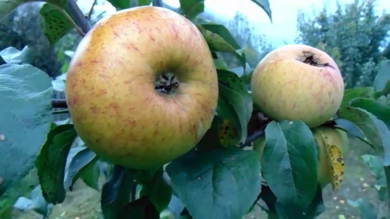 Семена крупноплодных яблок они есть у сибирского садовода В Железова