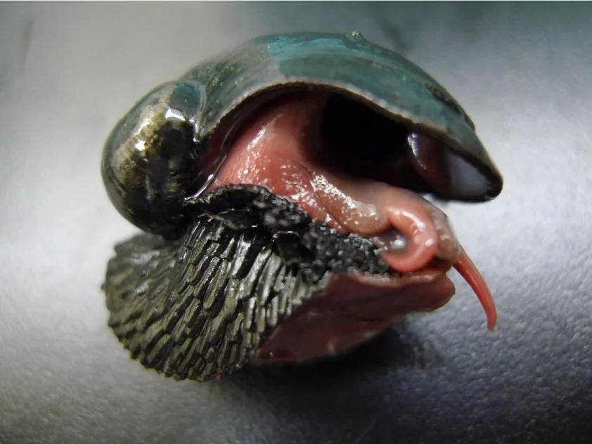 Железная улитка: Единственное почти полностью ЖЕЛЕЗНОЕ живое существо на планете