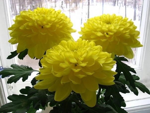 Комнатная хризантема Вряд ли найдется человек, который не слышал о хризантеме. Она весьма популярна. Как и некоторые представители садовых цветов, таких как, например, роза, хризантему можно