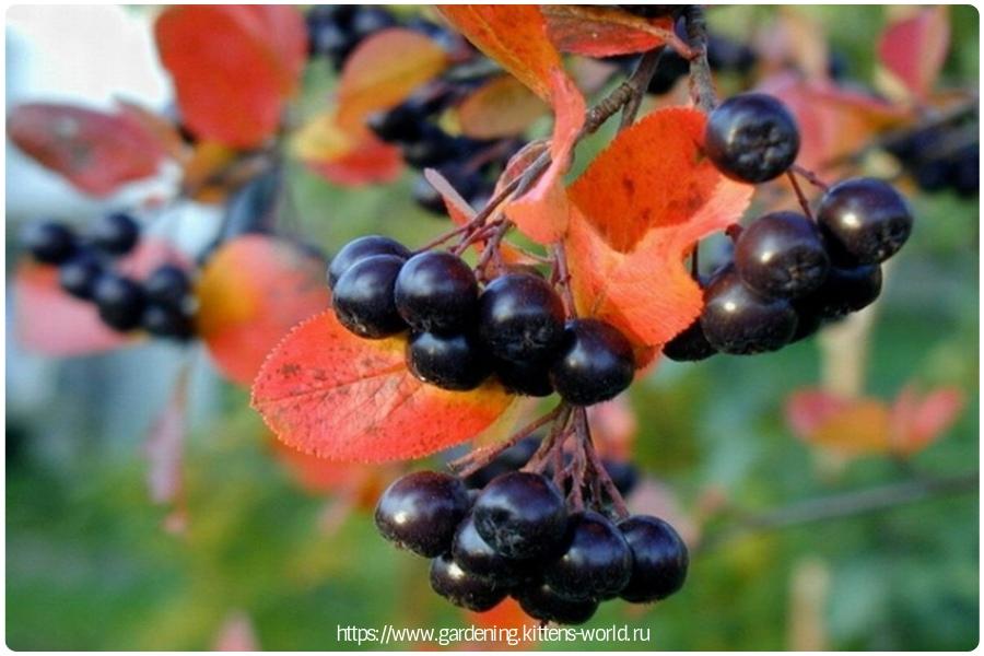 Черноплодная рябина (арония), описание и посадка