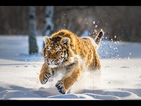 Дикая природа России Wildlife in Russia National Geographic 4K Ultra HD
