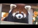 八木山レッサーリポート113 レッサーパンダ 赤ちゃん 名前決定 Red panda Cub Baby at Yagiyama zoo Video_113