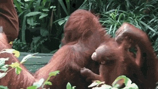 Orangutan trusts their caretaker completely - Create, Discover and Share Awesome GIFs on Gfycat