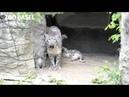 Three Snow Leopard Cubs Born at Zoo Basel