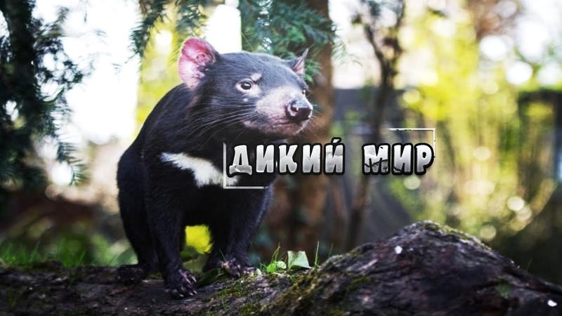 Удивительный мир дикие животные Тасманский дьявол Документальный фильм National Geographic