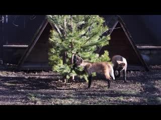 гривистые волчата