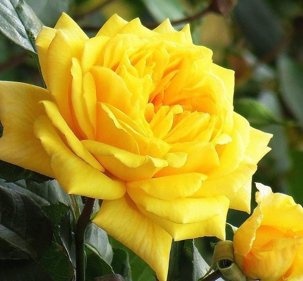 Красивые розы.