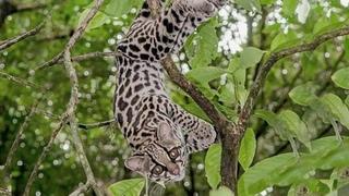 Маргай – белка среди котов! Ловкий акробат и эксперт по лазанию на деревьях! Длиннохвостая кошка.