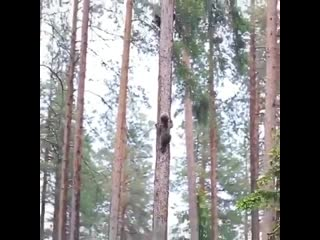 Have you ever thought how bear cubs climb on tree  Well... this is how they do it