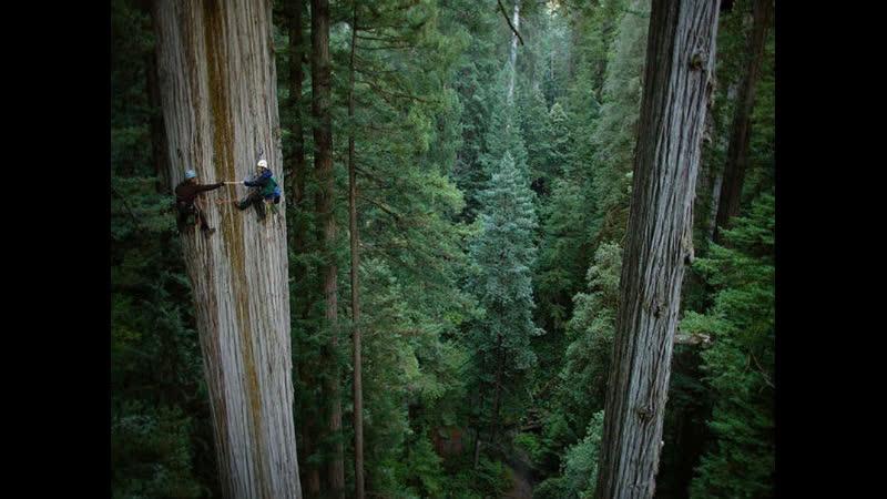 про Калифорнийские секвойи от Джона М. Анатомия гигантов