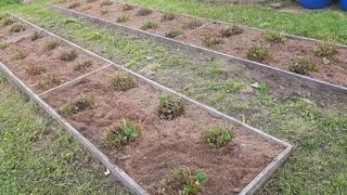 Обязательный уход за садовой земляникой после сбора урожая