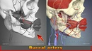 Buccal artery | Arteries of head and neck | 3D Human Anatomy | Organs